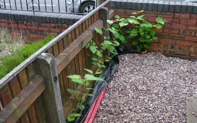 Herbicide treatment of Japanese knotweed in the front garden of a client's property