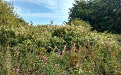 Clearing of a farm land from Japanese Knotweed