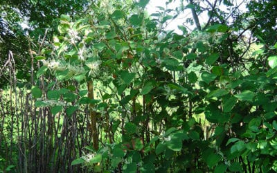 Eradication of Japanese Knotweed in the back garden of the property